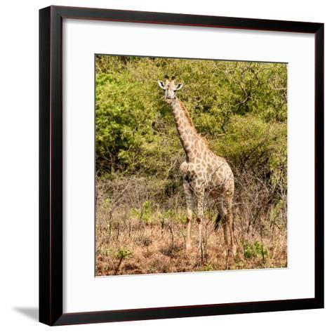 Awesome South Africa Collection Square - Giraffe Portrait II-Philippe Hugonnard-Framed Art Print