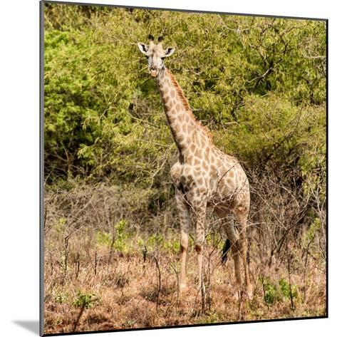 Awesome South Africa Collection Square - Giraffe Portrait II-Philippe Hugonnard-Mounted Photographic Print