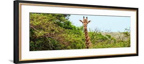 Awesome South Africa Collection Panoramic - Curious Giraffe-Philippe Hugonnard-Framed Art Print