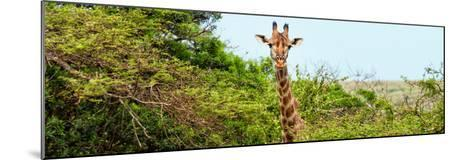 Awesome South Africa Collection Panoramic - Curious Giraffe-Philippe Hugonnard-Mounted Photographic Print