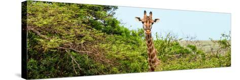 Awesome South Africa Collection Panoramic - Curious Giraffe-Philippe Hugonnard-Stretched Canvas Print