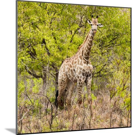 Awesome South Africa Collection Square - Giraffe Portrait III-Philippe Hugonnard-Mounted Photographic Print