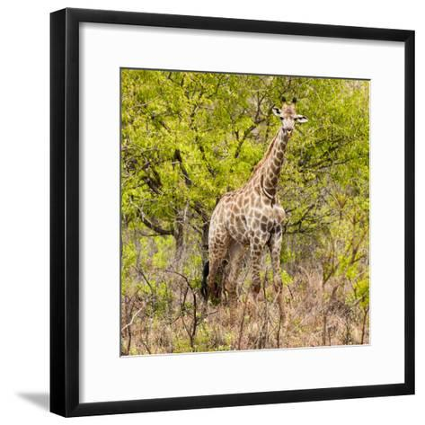 Awesome South Africa Collection Square - Giraffe Portrait III-Philippe Hugonnard-Framed Art Print