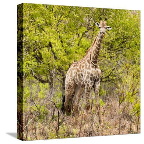 Awesome South Africa Collection Square - Giraffe Portrait III-Philippe Hugonnard-Stretched Canvas Print