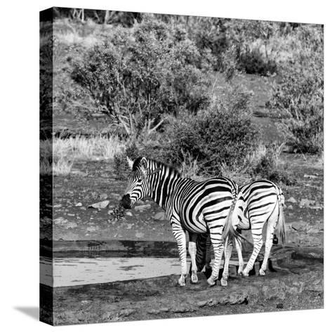 Awesome South Africa Collection Square - Two Burchell's Zebras III B&W-Philippe Hugonnard-Stretched Canvas Print