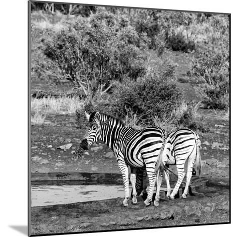 Awesome South Africa Collection Square - Two Burchell's Zebras III B&W-Philippe Hugonnard-Mounted Photographic Print
