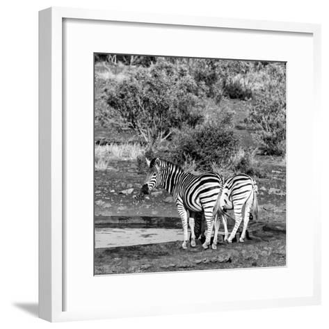Awesome South Africa Collection Square - Two Burchell's Zebras III B&W-Philippe Hugonnard-Framed Art Print