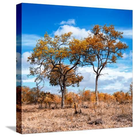 Awesome South Africa Collection Square - Savannah Trees in Fall Colors II-Philippe Hugonnard-Stretched Canvas Print