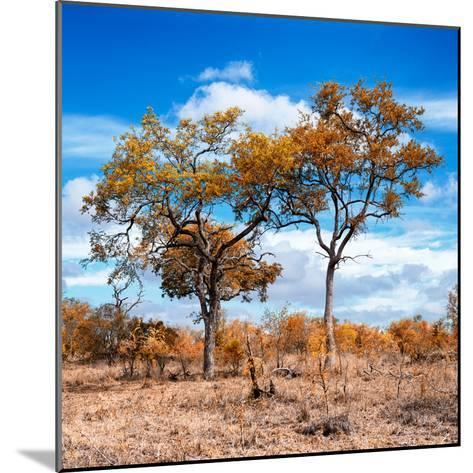 Awesome South Africa Collection Square - Savannah Trees in Fall Colors II-Philippe Hugonnard-Mounted Photographic Print