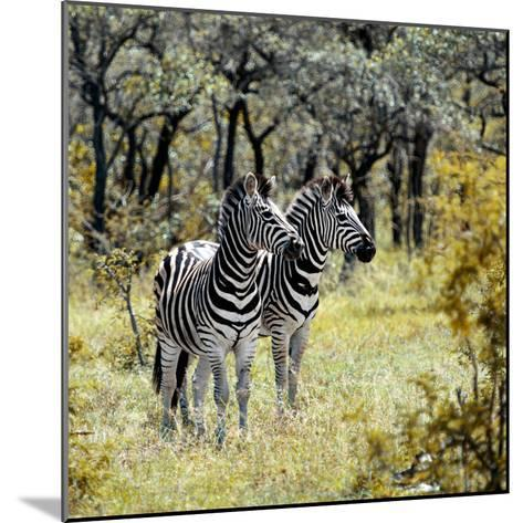 Awesome South Africa Collection Square - Two Common Zebras-Philippe Hugonnard-Mounted Photographic Print