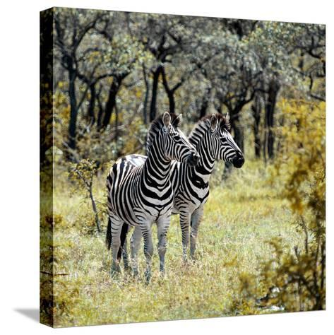 Awesome South Africa Collection Square - Two Common Zebras-Philippe Hugonnard-Stretched Canvas Print