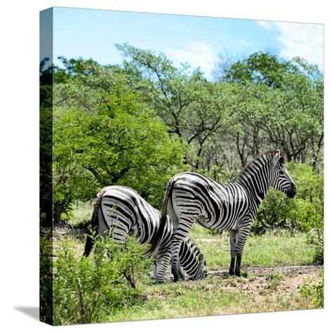Awesome South Africa Collection Square - Two Burchell's Zebras II-Philippe Hugonnard-Stretched Canvas Print