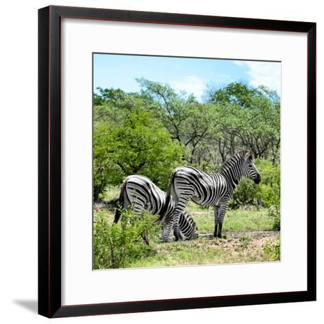 Awesome South Africa Collection Square - Two Burchell's Zebras II-Philippe Hugonnard-Framed Art Print