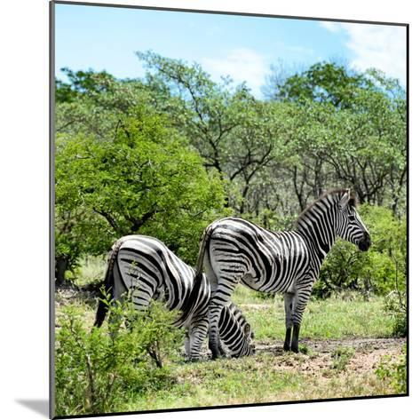 Awesome South Africa Collection Square - Two Burchell's Zebras II-Philippe Hugonnard-Mounted Photographic Print