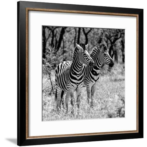 Awesome South Africa Collection Square - Two Burchell's Zebras B&W-Philippe Hugonnard-Framed Art Print