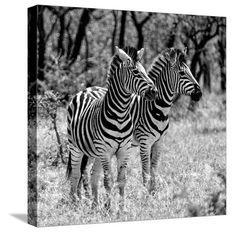 Awesome South Africa Collection Square - Two Burchell's Zebras B&W-Philippe Hugonnard-Stretched Canvas Print