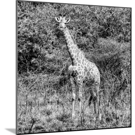 Awesome South Africa Collection Square - Giraffe Portrait II B&W-Philippe Hugonnard-Mounted Photographic Print