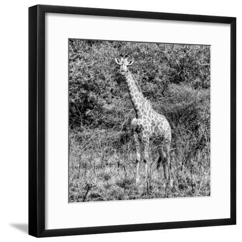 Awesome South Africa Collection Square - Giraffe Portrait II B&W-Philippe Hugonnard-Framed Art Print