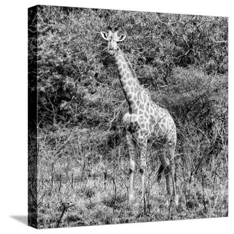 Awesome South Africa Collection Square - Giraffe Portrait II B&W-Philippe Hugonnard-Stretched Canvas Print
