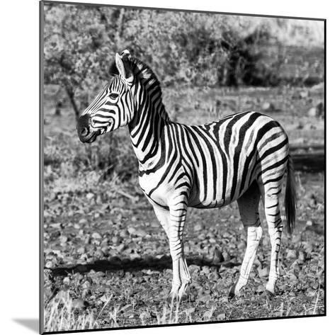 Awesome South Africa Collection Square - Burchell's Zebra Profile B&W-Philippe Hugonnard-Mounted Photographic Print