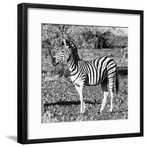 Awesome South Africa Collection Square - Burchell's Zebra Profile B&W-Philippe Hugonnard-Framed Art Print