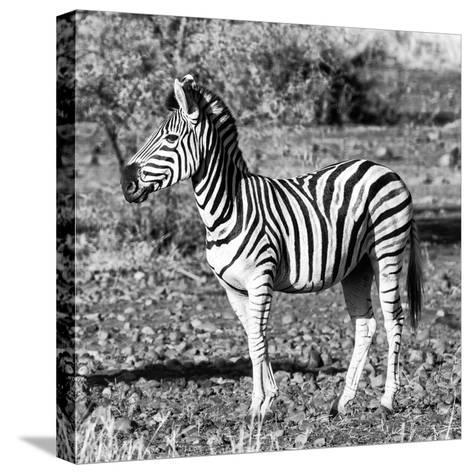 Awesome South Africa Collection Square - Burchell's Zebra Profile B&W-Philippe Hugonnard-Stretched Canvas Print