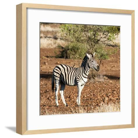 Awesome South Africa Collection Square - Burchell's Zebra with Oxpecker-Philippe Hugonnard-Framed Art Print