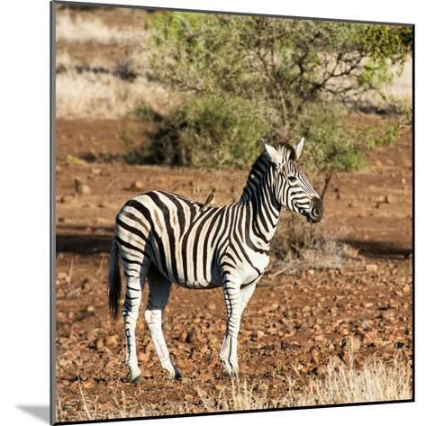 Awesome South Africa Collection Square - Burchell's Zebra with Oxpecker-Philippe Hugonnard-Mounted Photographic Print