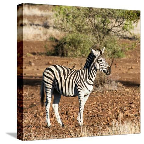 Awesome South Africa Collection Square - Burchell's Zebra with Oxpecker-Philippe Hugonnard-Stretched Canvas Print