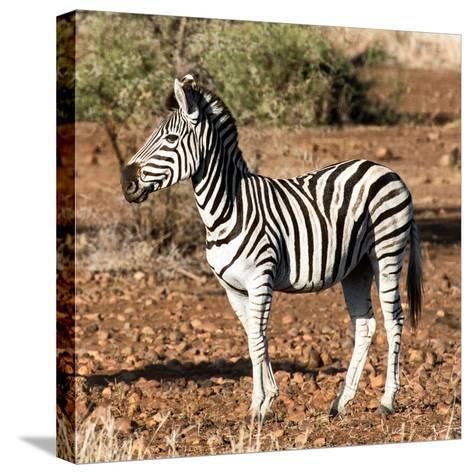 Awesome South Africa Collection Square - Burchell's Zebra Profile-Philippe Hugonnard-Stretched Canvas Print