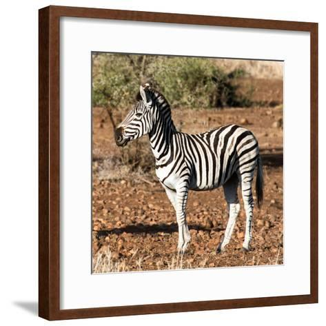 Awesome South Africa Collection Square - Burchell's Zebra Profile-Philippe Hugonnard-Framed Art Print
