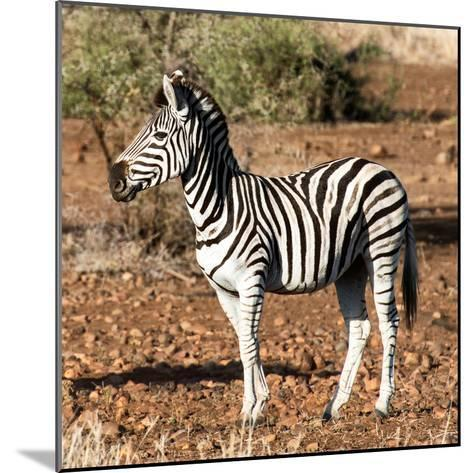 Awesome South Africa Collection Square - Burchell's Zebra Profile-Philippe Hugonnard-Mounted Photographic Print