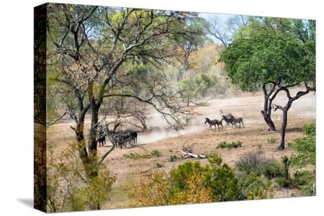 Awesome South Africa Collection - Zebras Migration in Savanna-Philippe Hugonnard-Stretched Canvas Print