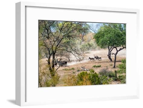 Awesome South Africa Collection - Zebras Migration in Savanna-Philippe Hugonnard-Framed Art Print