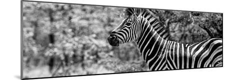 Awesome South Africa Collection Panoramic - Close-Up of Zebra B&W-Philippe Hugonnard-Mounted Photographic Print