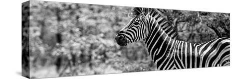 Awesome South Africa Collection Panoramic - Close-Up of Zebra B&W-Philippe Hugonnard-Stretched Canvas Print
