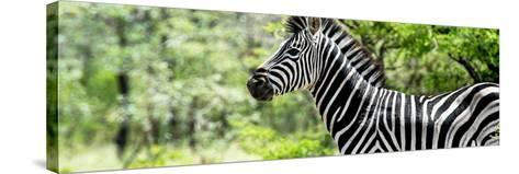 Awesome South Africa Collection Panoramic - Close-Up of Zebra-Philippe Hugonnard-Stretched Canvas Print