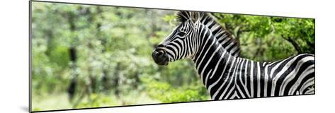 Awesome South Africa Collection Panoramic - Close-Up of Zebra-Philippe Hugonnard-Mounted Photographic Print