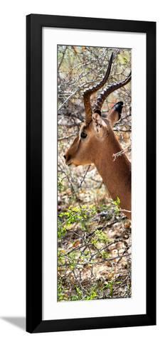 Awesome South Africa Collection Panoramic - Close-Up of Impala-Philippe Hugonnard-Framed Art Print