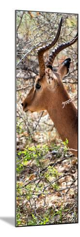 Awesome South Africa Collection Panoramic - Close-Up of Impala-Philippe Hugonnard-Mounted Photographic Print