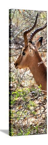 Awesome South Africa Collection Panoramic - Close-Up of Impala-Philippe Hugonnard-Stretched Canvas Print