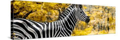 Awesome South Africa Collection Panoramic - Close-Up of Zebra with Yellow Savanna-Philippe Hugonnard-Stretched Canvas Print