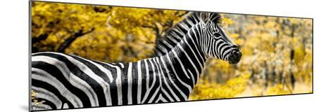 Awesome South Africa Collection Panoramic - Close-Up of Zebra with Yellow Savanna-Philippe Hugonnard-Mounted Photographic Print