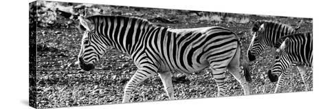 Awesome South Africa Collection Panoramic - Close-Up of Three Zebra B&W-Philippe Hugonnard-Stretched Canvas Print