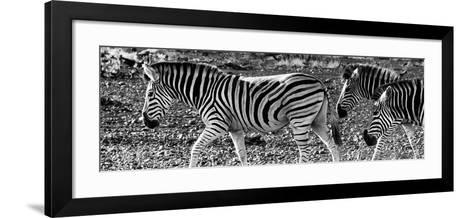 Awesome South Africa Collection Panoramic - Close-Up of Three Zebra B&W-Philippe Hugonnard-Framed Art Print