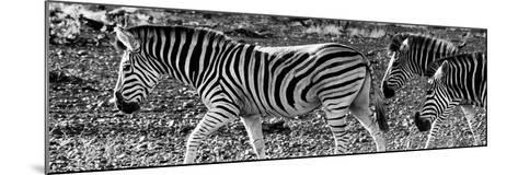 Awesome South Africa Collection Panoramic - Close-Up of Three Zebra B&W-Philippe Hugonnard-Mounted Photographic Print