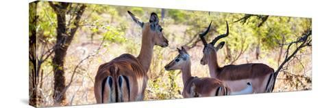 Awesome South Africa Collection Panoramic - Impala Family-Philippe Hugonnard-Stretched Canvas Print