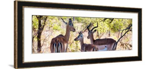 Awesome South Africa Collection Panoramic - Impala Family-Philippe Hugonnard-Framed Art Print