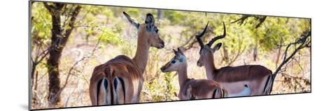 Awesome South Africa Collection Panoramic - Impala Family-Philippe Hugonnard-Mounted Photographic Print