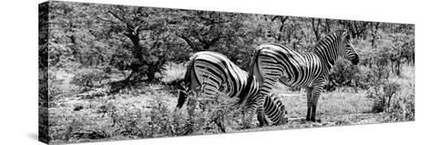Awesome South Africa Collection Panoramic - Zebras Africa B&W-Philippe Hugonnard-Stretched Canvas Print